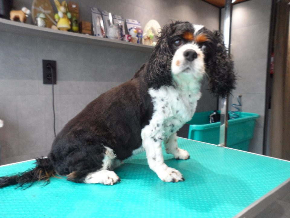 Thesnie - Cavalier King Chales