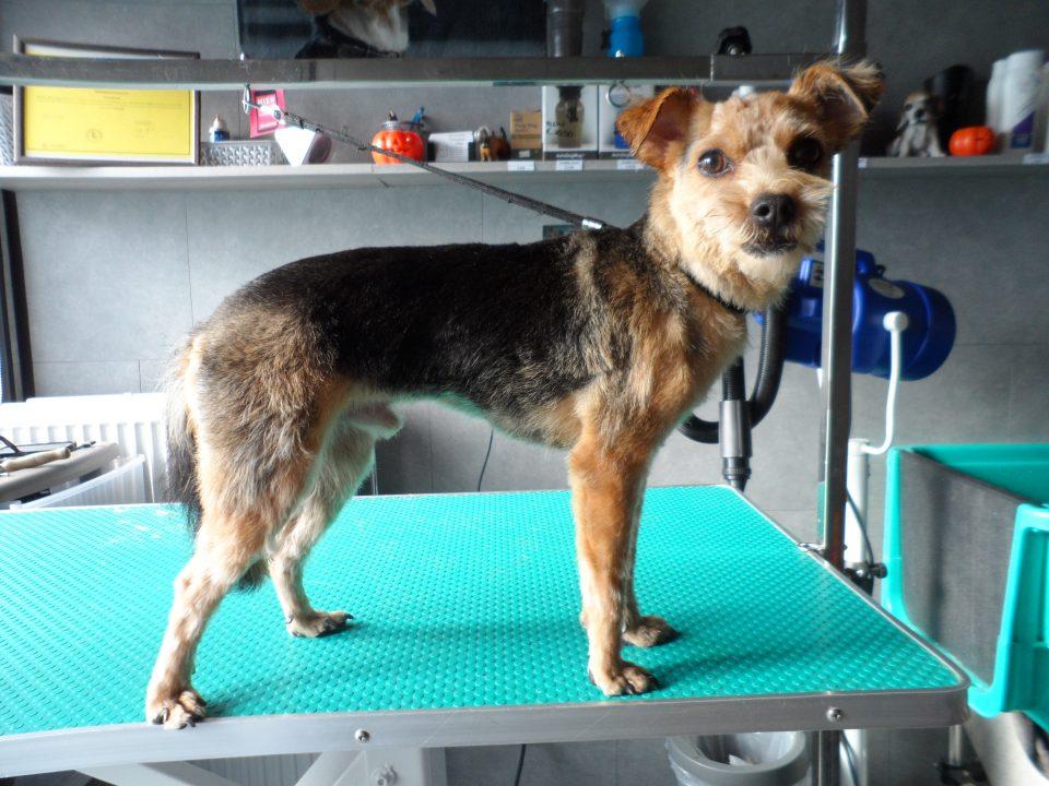Filou - Kruising Jorkshire Terriër & Chihuahua